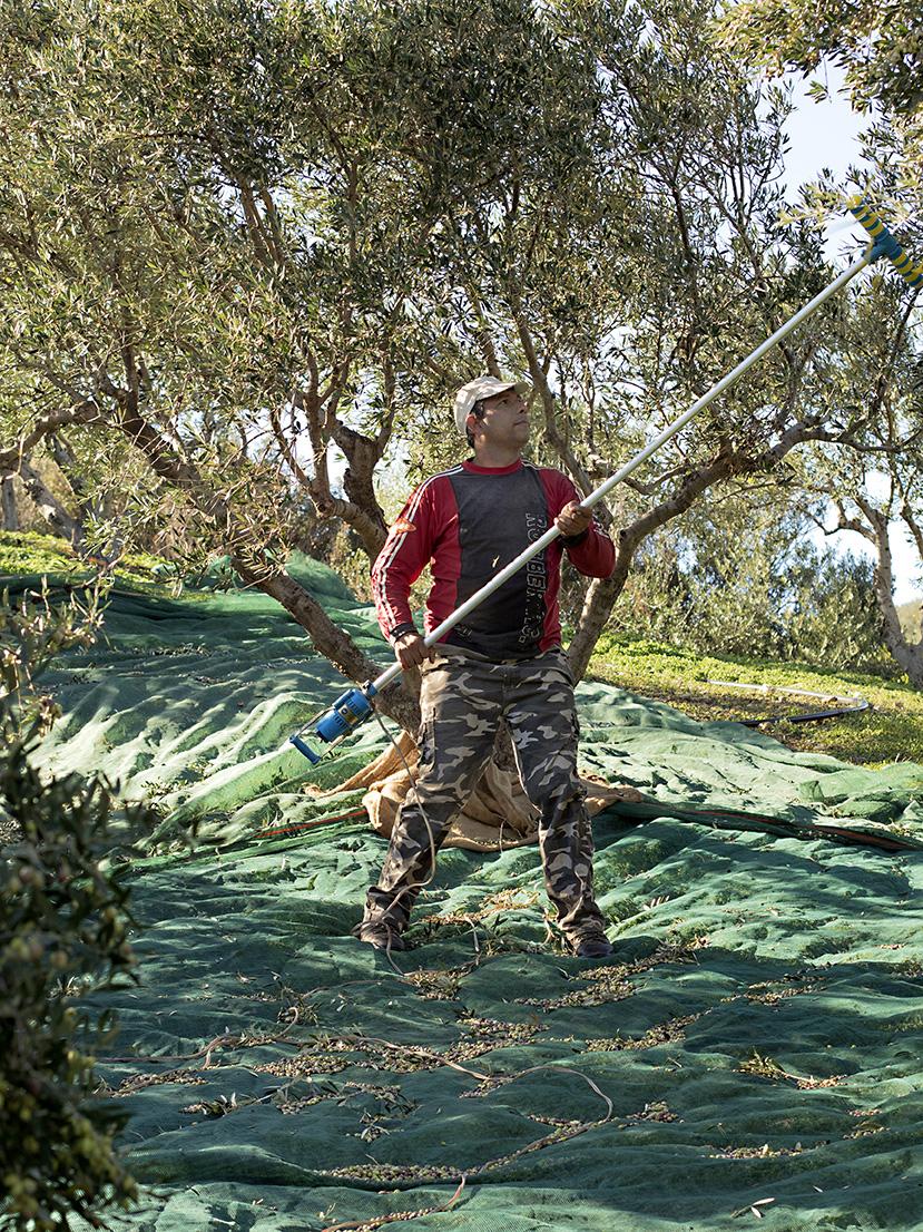 olivenplukking