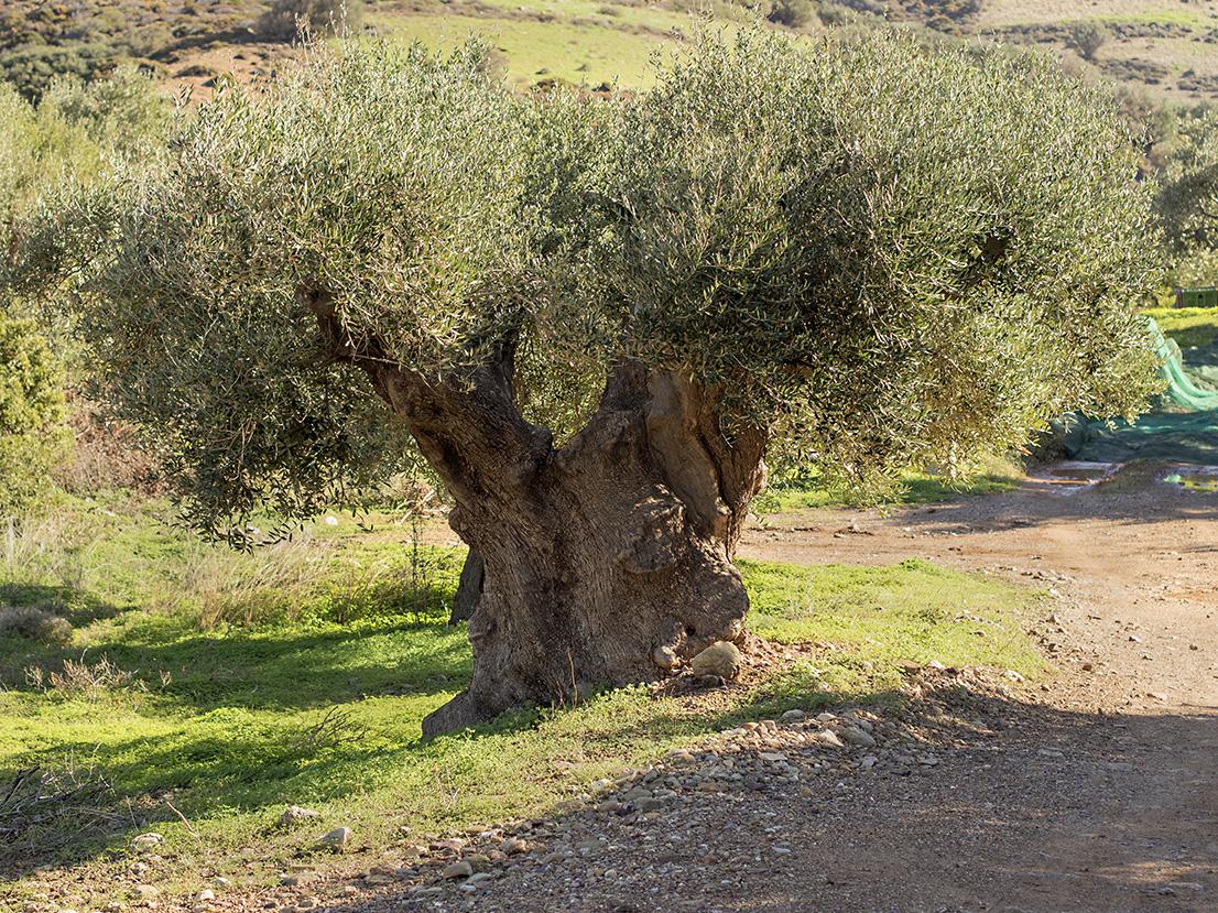 1000 år gammelt oliventre