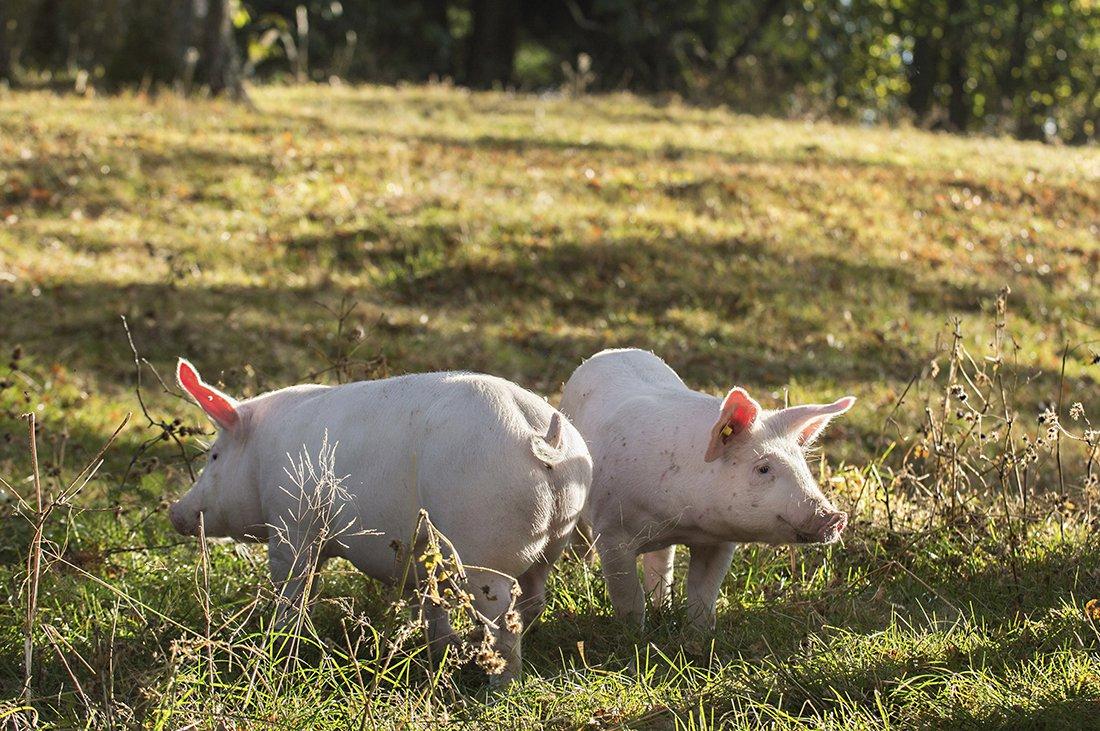 Gla'gris fra Rakkestad